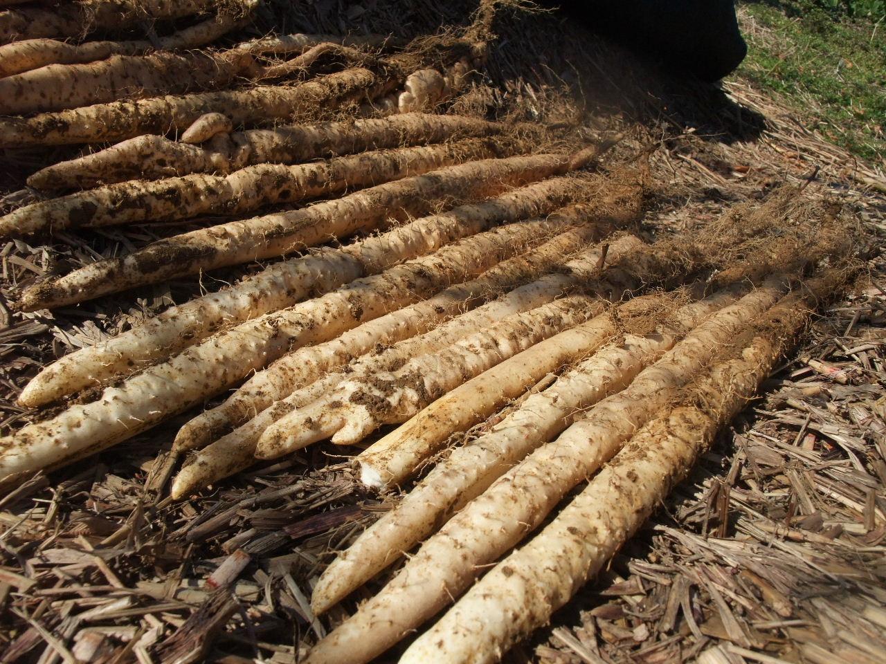 自然薯の販売
